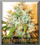Misty Kali fast growing feminized marijuana single seeds for sale